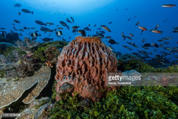 Huge barrel sponge in the middle of coral reef on November 29 Mayotte, Comoros Archipelago, Indian Ocean. The coral reefs of Mayotte seem to be in...
