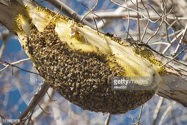 Huge bee nest on a tree branch