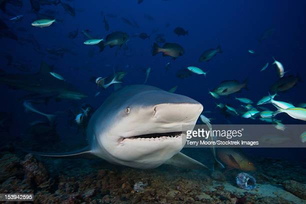 huge bull shark with mouth open, fiji. - bull shark stock pictures, royalty-free photos & images