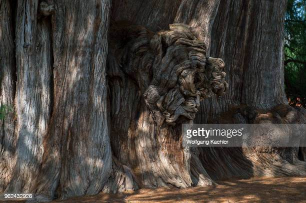A huge burl or bur or burr on the El Arbol del Tule a tree located in the church grounds in the town center of Santa Maria del Tule in the Mexican...