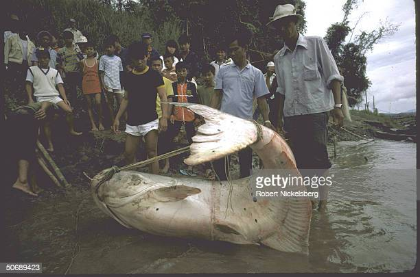 Huge catfish hauled from Mekong River being admired by locals