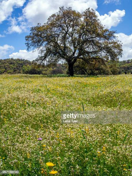 VICENTINA ALENTEJO PORTUGAL A huge cork tree in front of a field of wildflowers near Cercal do Alentejo in southern Portugal