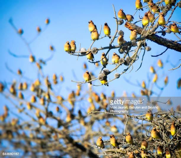 Huge Flock of Cedar Waxwing (Bombycilla cedrorum) Against Blue Sky