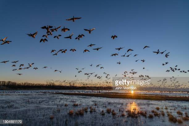 huge flocks of migrating snow geese take flight at sunrise - water bird stock pictures, royalty-free photos & images