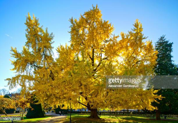 huge ginkgo tree known as goethe tree with yellow leaves, republic square in strasbourg, panoramic view, france - ginkgo tree stock pictures, royalty-free photos & images