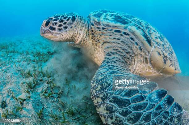 A huge green sea turtle feeds on sea grass in a shallow water on April 21 Marsa Alam Egypt Red Sea Chelonia mydas is one of the largest of all sea...