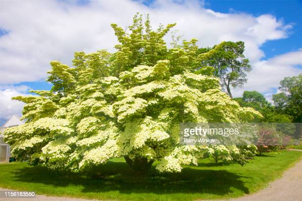 huge kousa dogwood in bloom in june in new england - kousa dogwood stock pictures, royalty-free photos & images