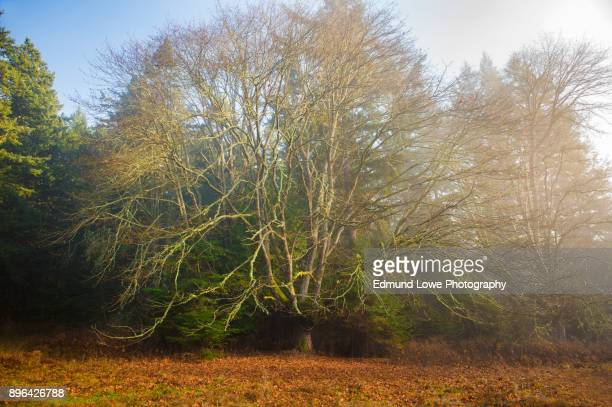 huge maple tree during the autumn season. - forest floor stock photos and pictures