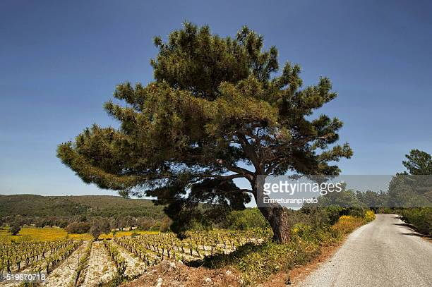 huge meditteranien pine alonside the road - emreturanphoto stock pictures, royalty-free photos & images