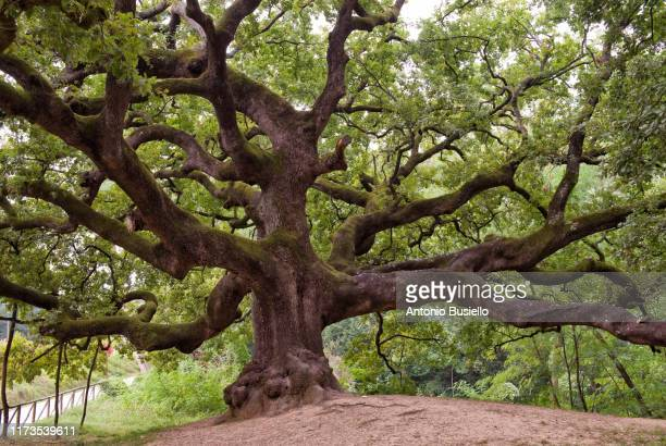 huge oak tree with long branches - oak leaf stock pictures, royalty-free photos & images