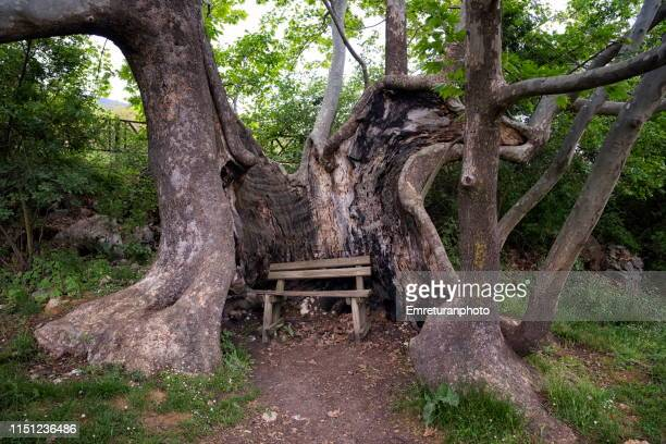 huge plane tree with bench in the middle of its trunk near kovada lake,isparta. - emreturanphoto stock pictures, royalty-free photos & images