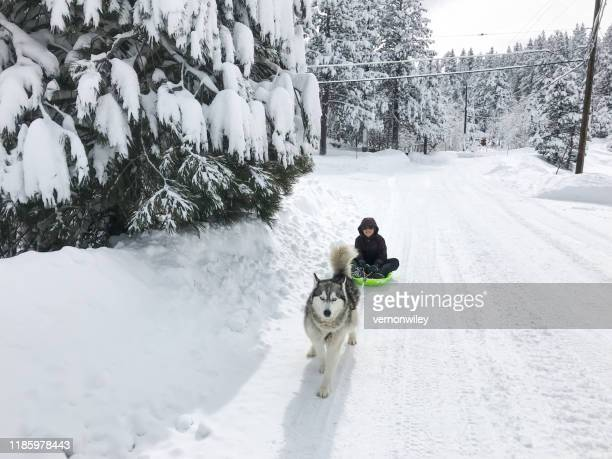 huge powder snow day for child and husky in california - working animal stock pictures, royalty-free photos & images