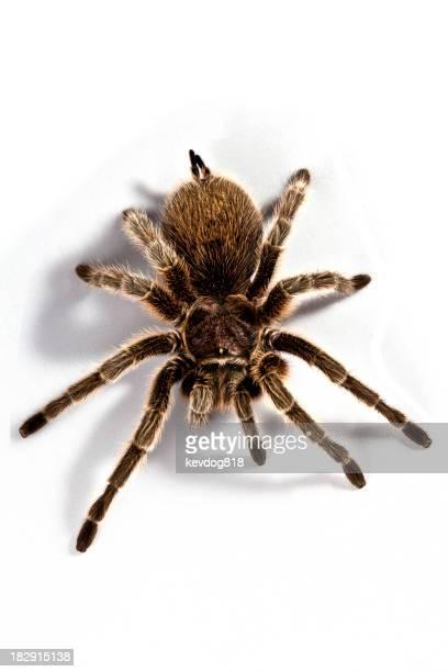 A huge scary rose hair tarantula