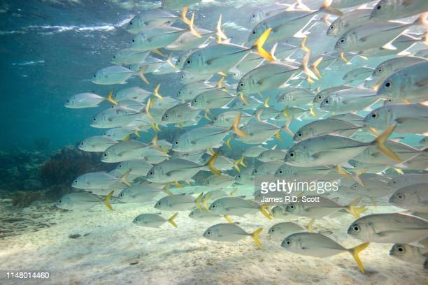 huge school of fish - jack fish stock pictures, royalty-free photos & images