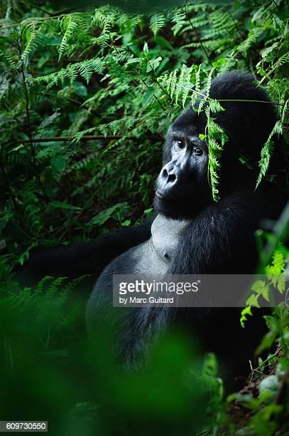 huge silverback mountain gorilla (gorilla beringei beringei) sitting in the dense jungle of bwindi impenetrable national park, uganda. - uganda stock pictures, royalty-free photos & images
