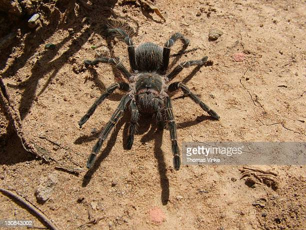 huge tarantula grammostola aureostriata) in paraguay - ugly spiders stock photos and pictures