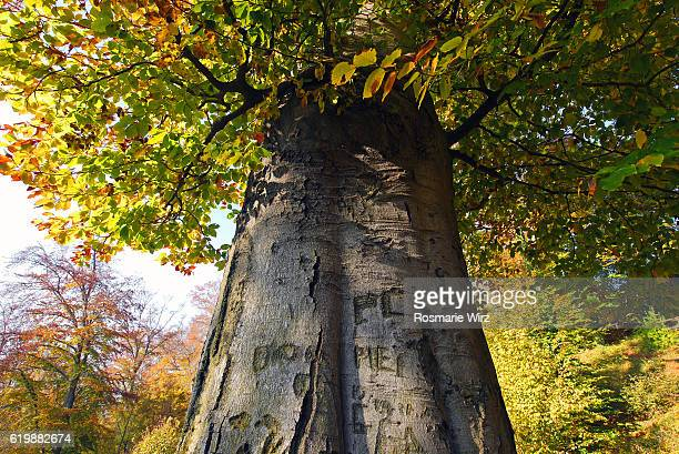 Huge trunk of beech tree, low viewpoint, autumn leaves