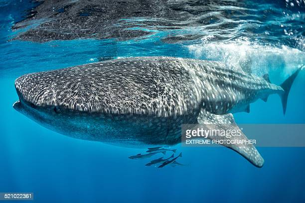 huge whale shark swimming in the sea - whale shark stock pictures, royalty-free photos & images