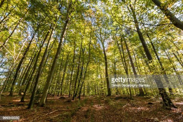 huge woodland - árvore de folha caduca - fotografias e filmes do acervo