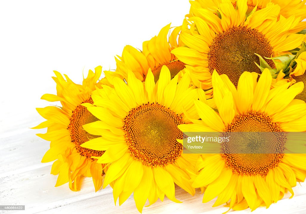 huge yellow sunflowers in a bouquet : Stock Photo