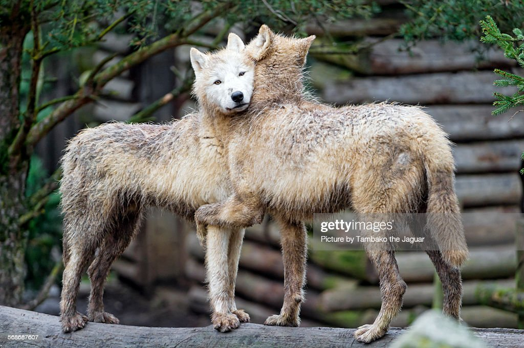 Hugging arctic wolves : Stock Photo