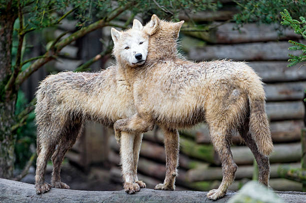 Hugging Arctic Wolves Wall Art
