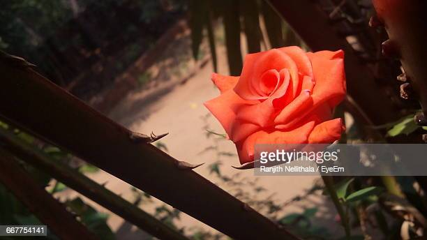 Hugh Angle View Of Red Rose Blooming In Garden