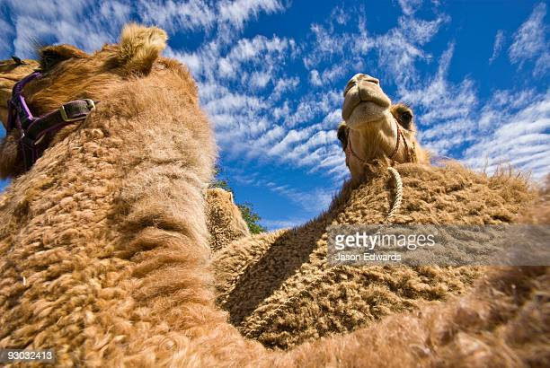 A Dromedary Camel rests it's head on the fury hump of another camel.