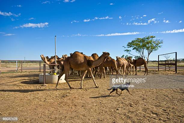 A cattle dog musters a mob of wild caught camels waiting for auction.