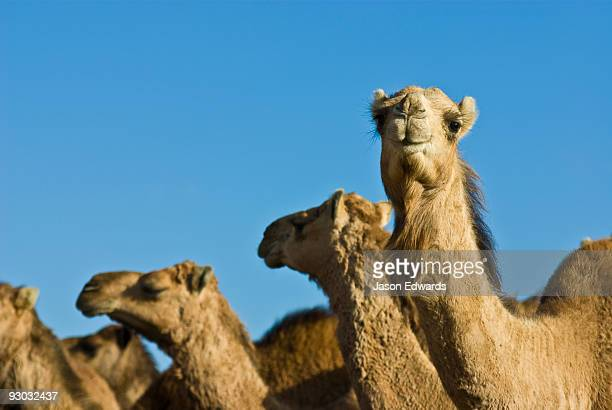 The beautiful facial features of a mob of wild Dromedary Camels.