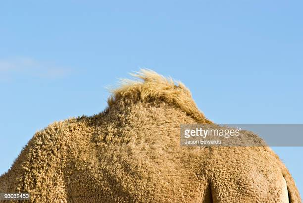 The hump of a Dromedary Camel stores fat reserves for arduous journeys
