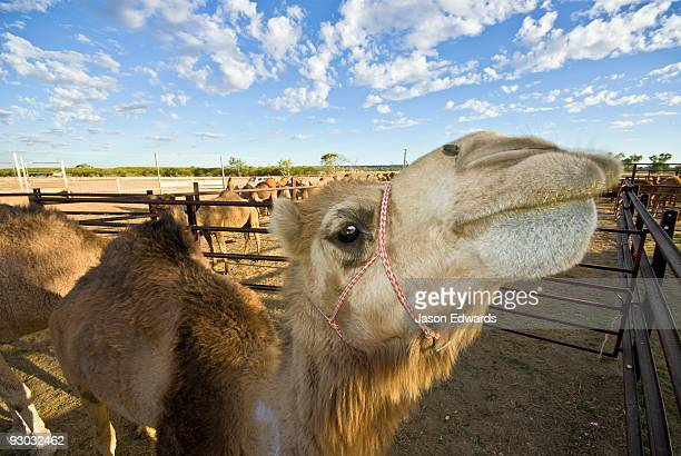 A corralled camel stretches it's long neck after an endurance race.