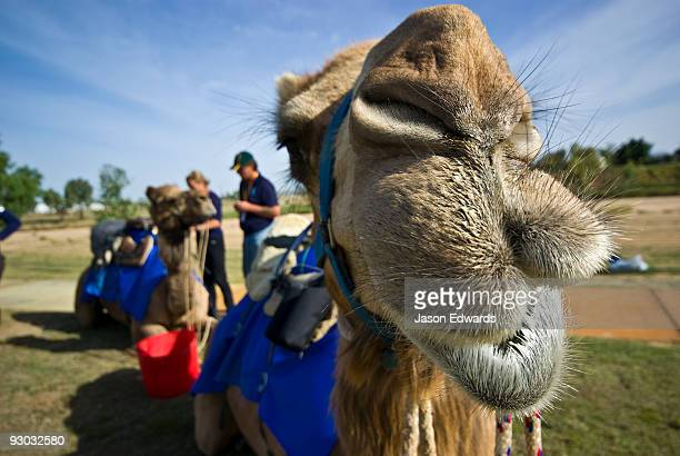A camels huge hairy lips give a quirky smile after an endurance race.