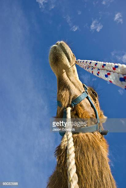 Tethers and reins hang from the bridle of a racing Dromedary Camel.