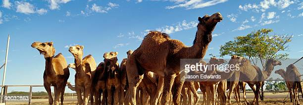 A herd of genetically valuable wild camels wait to be sold at auction.