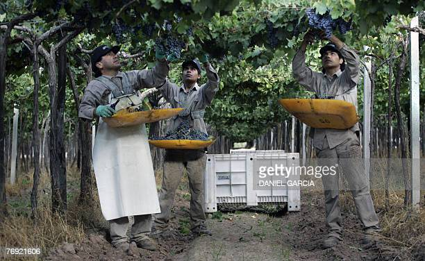 Hugo Rojas and his sons Marcelo and Gaston pick up Malbec grapes at Familia Zuccardi's vineyard 11 March 2006 in Mendoza Argentina Malbec wine is...