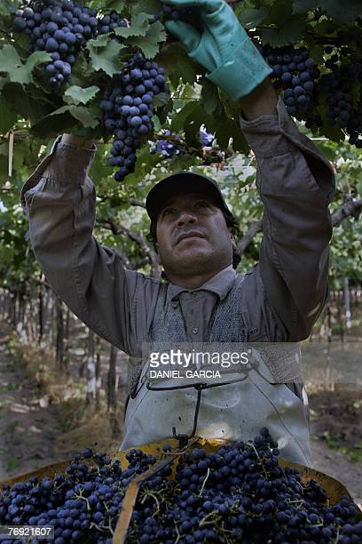 Hugo Rojas picks up Malbec grapes at Familia Zuccardi's vineyard 11 March 2006 in Mendoza Argentina Malbec wine is according to specialists one of...