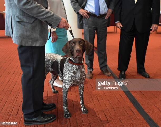 Hugo the German Shorthaired Pointer poses during a news conference with American Kennel Club and HJ Kalikow Co August 9 2017 In New York AKC Champion...