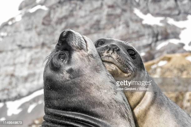 hugs - foca imagens e fotografias de stock