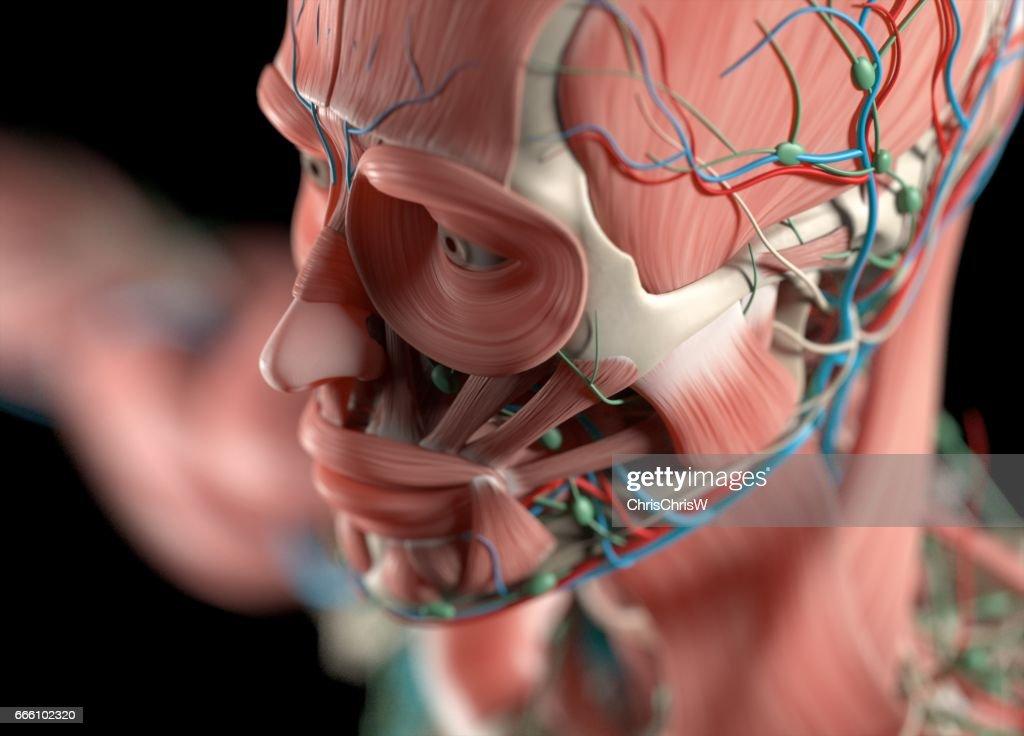 Menschliche Anatomie Körper Muskulös Skelett Vaskuläre Nervensystem ...