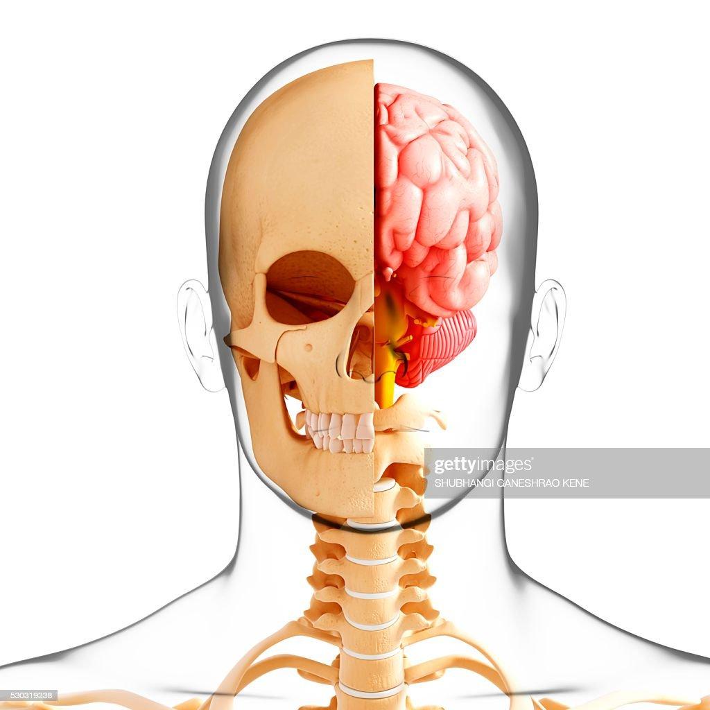 Human anatomy, computer artwork. : Foto de stock