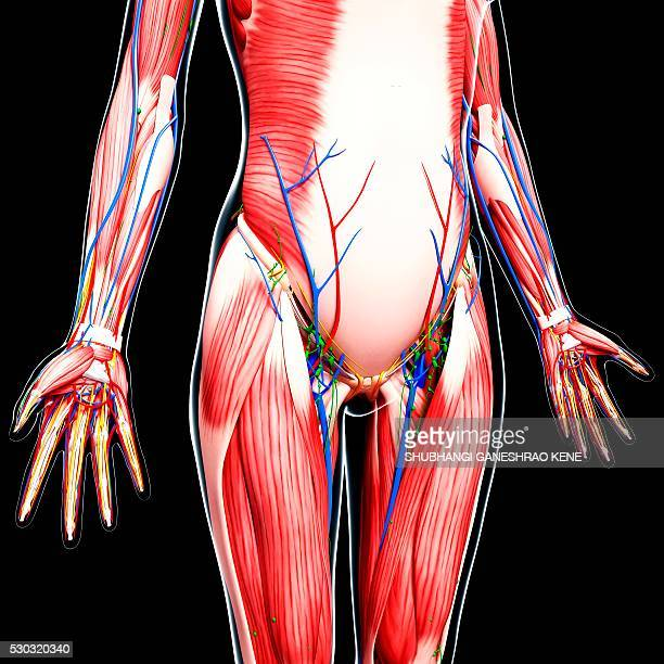 human anatomy, computer artwork. - vastus lateralis stock pictures, royalty-free photos & images