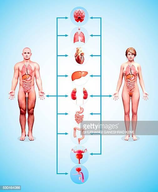 human anatomy, computer artwork. - testis stock photos and pictures