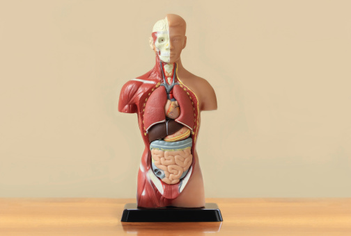 Human anatomy display on wooden table 155257655