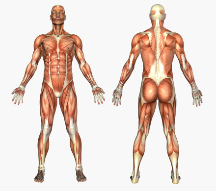 Human Anatomy - Male Muscles 135895161