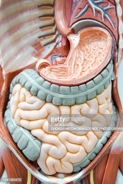 human anatomy model - human stomach internal organ stock pictures, royalty-free photos & images