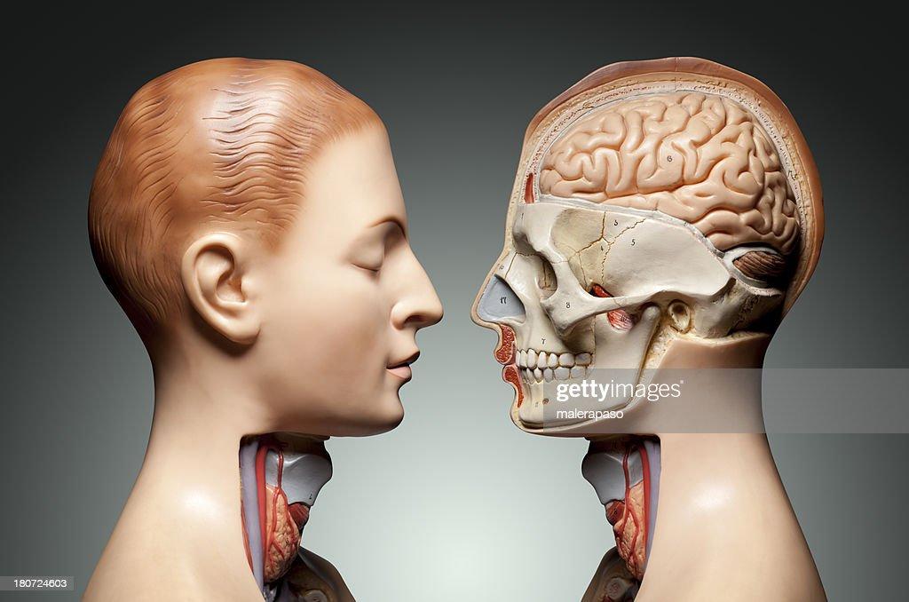 Human anatomy model : Stock Photo