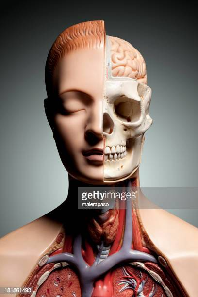 human anatomy model - anatomical model stock pictures, royalty-free photos & images