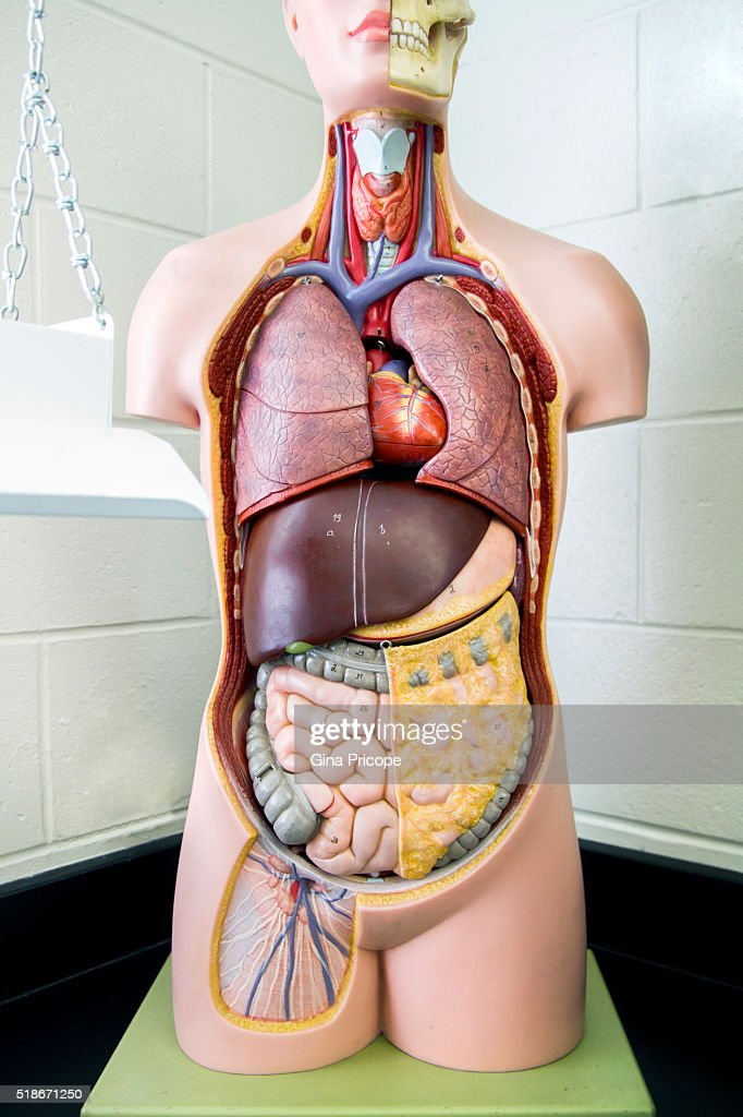 Human anatomy model. : Stock Photo