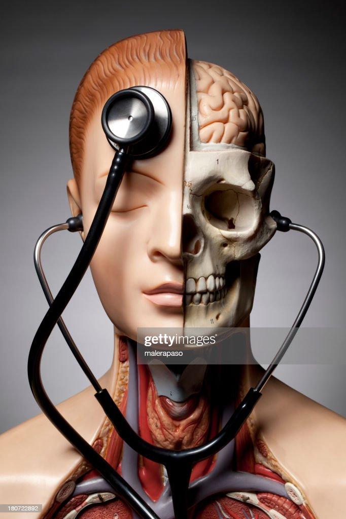 Menschliche Anatomiemodell Mit Stethoskop Stock-Foto | Getty Images